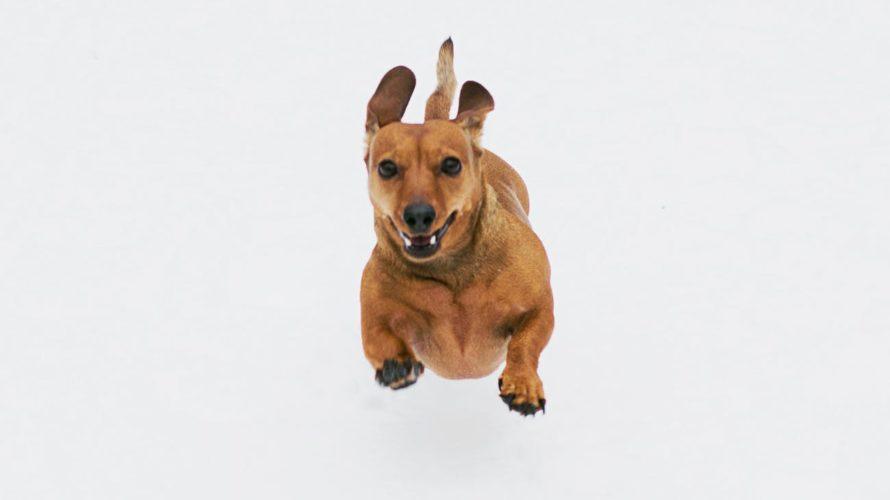 brown short coated dog on white background